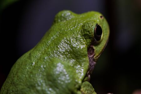 Green shiny tree frog looks away, with dark background Stok Fotoğraf - 47238947