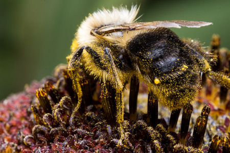Bumble bee extracting pollen from sunflower