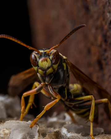 paper wasp: Paper wasp guards nest with rust in background