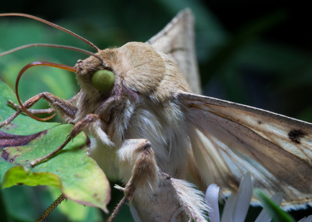 Moth wth bright green eyes on green leaf extends tongue