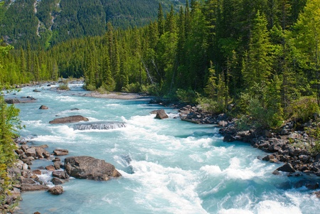 the fast flowing kicking horse river, cuts through a pine forest, in yoho national park, canada.