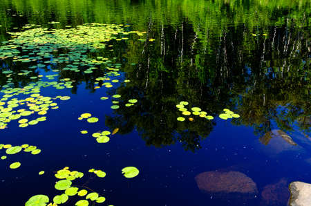 water lilly: waterlilies and reflecting birch on a pond, in northern minnesota.