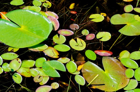 early august, brings colorful changes, to the waterlilies of northern minnesota. photo
