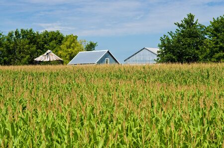 a corn field and metal barns in the backgroud, rural minnesota. Stock Photo - 10879536