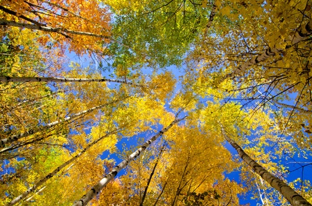 looking upward at glowing aspen treetops, in the beauty of minnesotas autumn.  photo