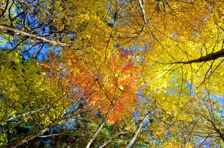 looking upward at glowing maple treetops, in the beauty of minnesotas autumn.