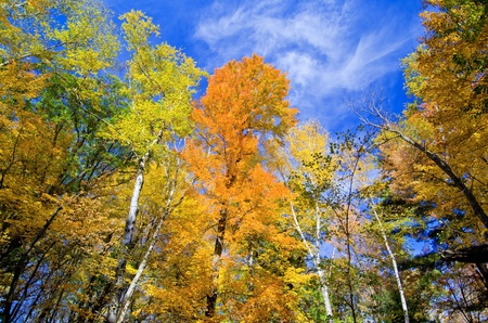 looking upward at glowing aspen and maple forest, in the beauty of minnesotas autumn.