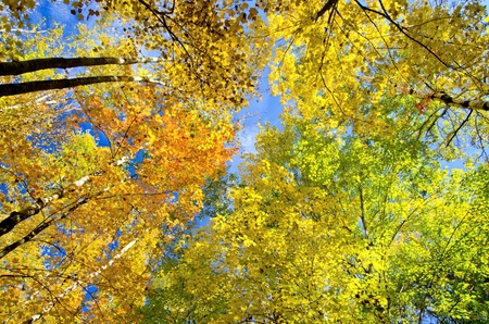 looking upward at glowing aspen and maple treetops, in the beauty of minnesotas autumn.
