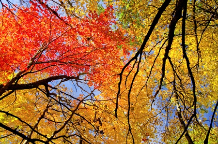tree canopy: looking upward at colorful maple treetops, in the beauty of minnesotas autumn. Stock Photo