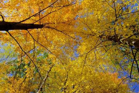 treetop: looking upward at glowing maple treetops, in the beauty of minnesotas autumn.