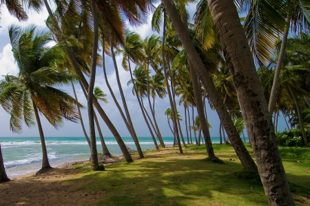 a coconut grove lines the carribean coast of puerto rico. Stock Photo