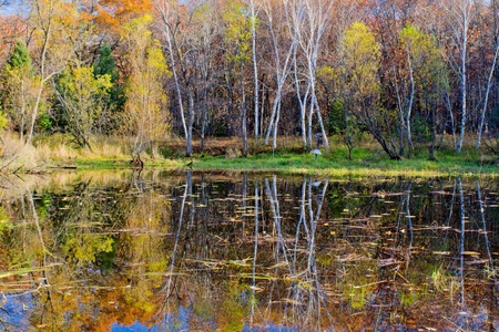 minnesota woods: autumn reflections on a small pond, in the carlos avery wildlife management area, minnesota.