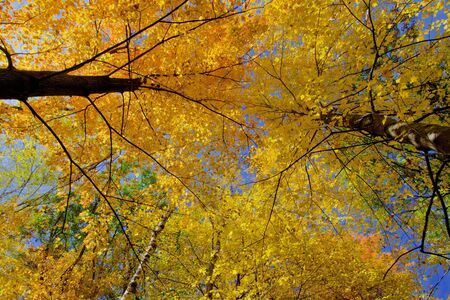looking upward at glowing maple treetops, in the beauty of minnesotas autumn. photo