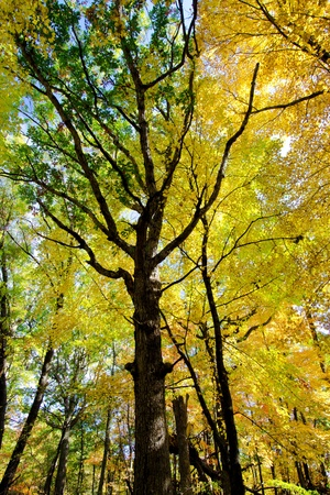 looking upward at an oak and maple forest, in the beauty of autumn.  photo