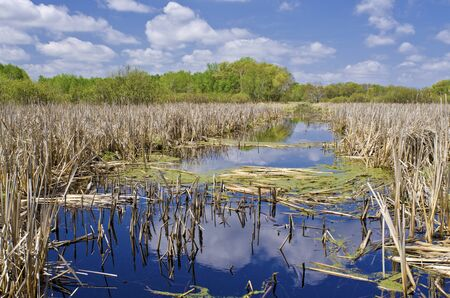 cattails in springtime, at the carlos avery wildlife refuge, minnesota. photo