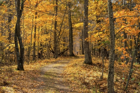 a trail winds its way through a maple forest in autumn, mille lacs kathio state park, minnesota. Stock Photo