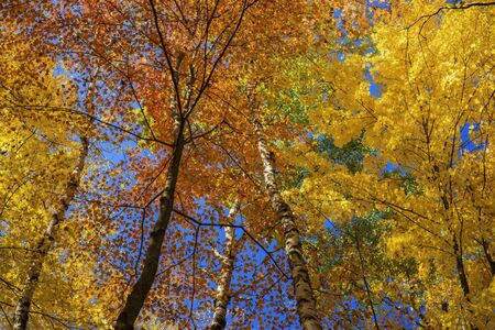 a colorful autumn canopy of birch and maple leaves, carlos avery wildlife refuge, minnesota. photo