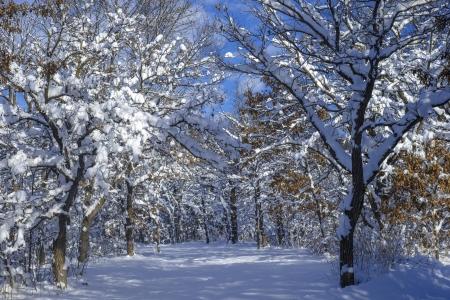minnesota woods: snow flocked oak trees, along a snowy trail, in bunker hills regional park, minnesota