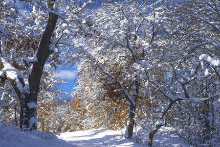 minnesota woods: snow flocked oaks along a cross country ski trail, bunker hills regional park, minnesota. Stock Photo