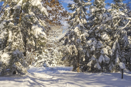minnesota woods: snow flocked pines and a cross country ski trail, bunker hills regional park, minnesota. Stock Photo