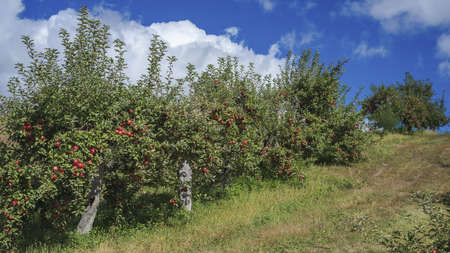 ripen: hanging apples ripen on a row of trees that climb a small hill, in central minneota  Stock Photo
