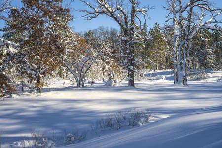 minnesota woods: snow flocks oak and pine trees, casting cold shadows, at bunker hills recreational park, minnesota Stock Photo