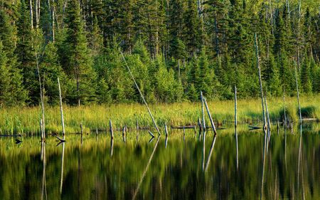 minnesota woods: reflections of the cycle of life, as trees are in transition along the shoreline of a pond