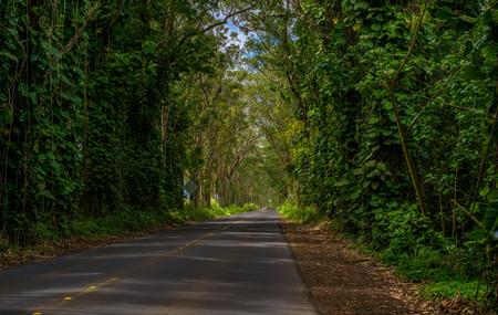 enveloped: driving through the eucalyptus tree tunnel, on the maluhia road, toward poipu beach, kauai, hawaii. Stock Photo