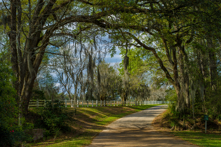 overhanging spanish moss draped oaks, greet guests entering the grounds of the historic rosedown cotton plantation, st. francisville, louisiana. Stok Fotoğraf