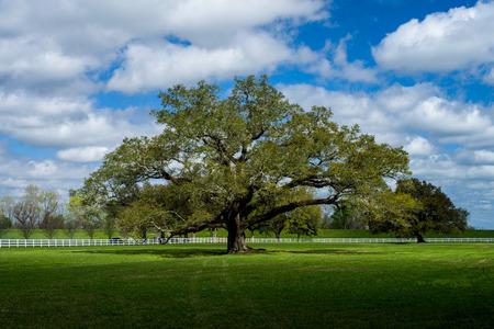 un roble vivo solitario está bañado por la luz del sol primaveral, en los terrenos de la histórica plantación de callejón de roble, Vacherie, Louisiana.