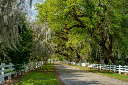 a white fence road is lined with spanish moss draped oaks, at the entrance of historic rosedown cotton plantation, st. francisville, louisiana.