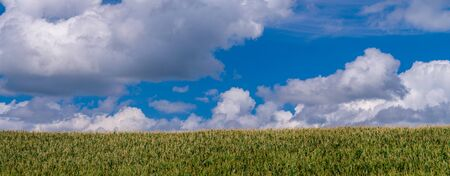 mid summer corn grows head high, as puffy cumulus clouds roll on by, central minnesota. Stock Photo