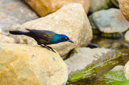 A common grackle (Quiscalus quiscula) walks on large rocks while looking for water to drink at Lake Maxinkuckee in Culver, Indiana Standard-Bild