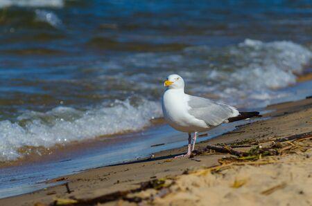 American herring gull (Larus smithsonianus or Larus argentatus smithsonianus) on the beach at Lake Michigan in Grand Haven, Michigan