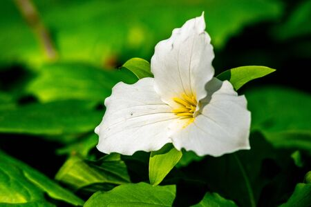 A white trillium (Trillium grandiflorum) flower against dark green leaves at Potato Creek State Park in North Liberty, Indiana Imagens