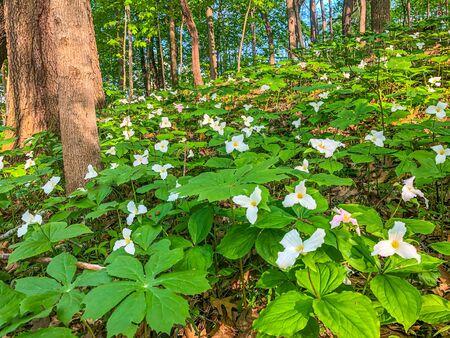 White trilliums (Trillium grandiflorum) cover the forest floor at Potato Creek State Park in North Liberty, Indiana Imagens