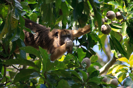 howler: Howler monkey looking at me while eating fruit in the pantanal wetlands, brazil
