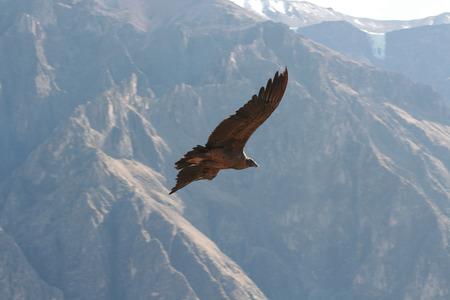condor: Flying Condor in the Colca canyon. Peru Stock Photo