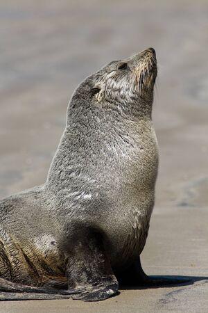 sea lion: Sea lion on beach close-up, new zealand Stock Photo