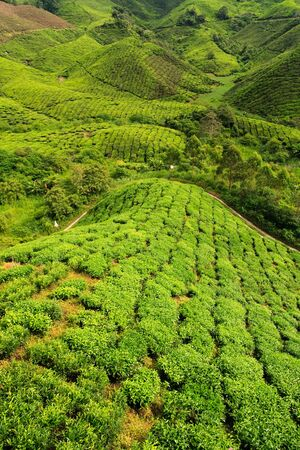 south east asia: Bright green tea plantation, cameron highlands, malaysia, South East Asia