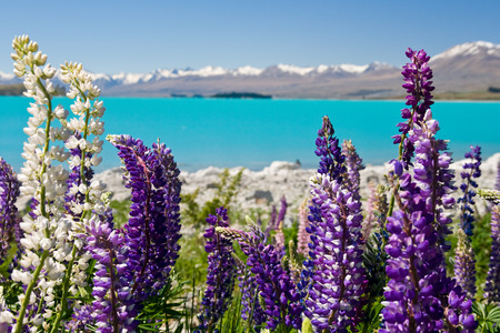 lupins: Lupins in the spring sunshine backed by stunning turqoise lake and mountains, new zealand Stock Photo