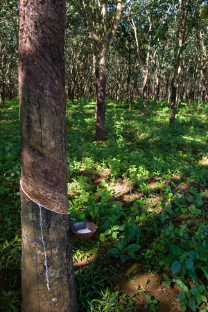 malaya: Tapping latex from a rubber tree plantation forest in Vietnam Stock Photo