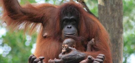 Orang utan mother holding baby Stock Photo