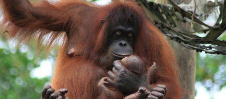 orang: Orang utan mother holding baby Stock Photo