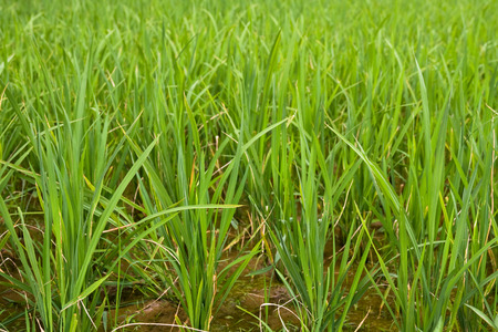 agri: Green rice paddy close up Stock Photo
