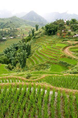 padi: Green rice paddy terraces in Sapa, Vietnam