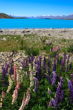 turqoise: Lupins in the spring sunshine backed by stunning turqoise lake and mountains, new zealand Stock Photo