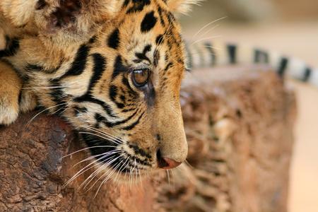 tigre cachorro: Cerca de retrato de Cub de tigre