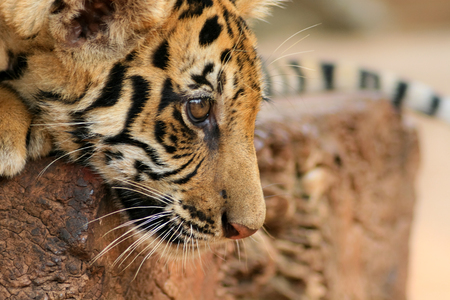 prowess: Close up portrait of Tiger Cub
