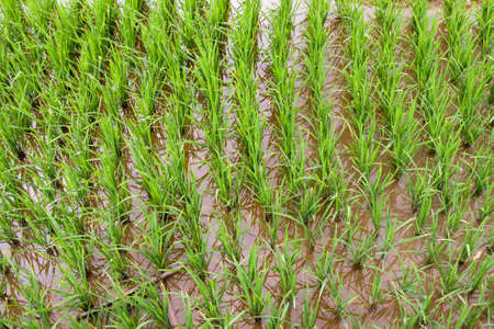 agri: Flooded rice paddy from above Stock Photo